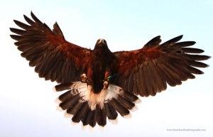 bird-of-prey-landing