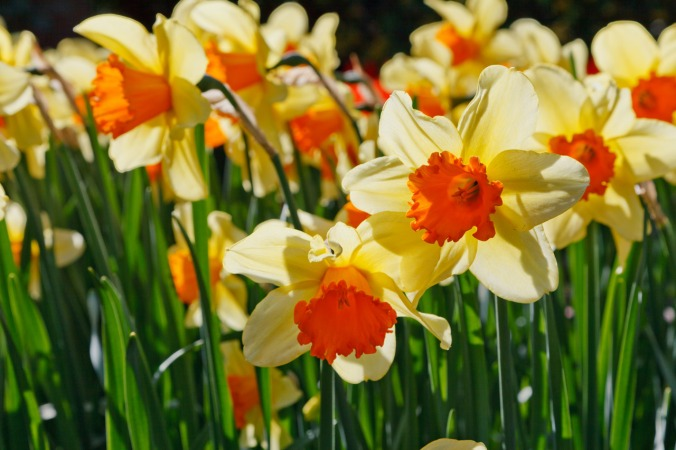 daffodils-glowing