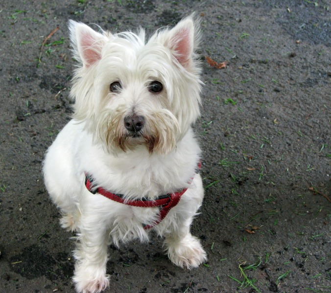 west-highland-white-terrier-dog