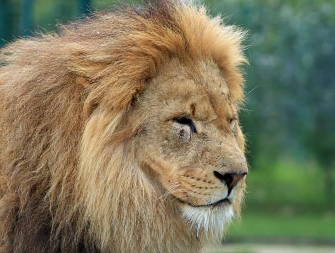 lion-head-portrait