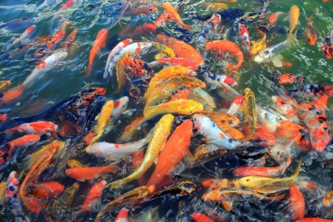 koi-fish-2