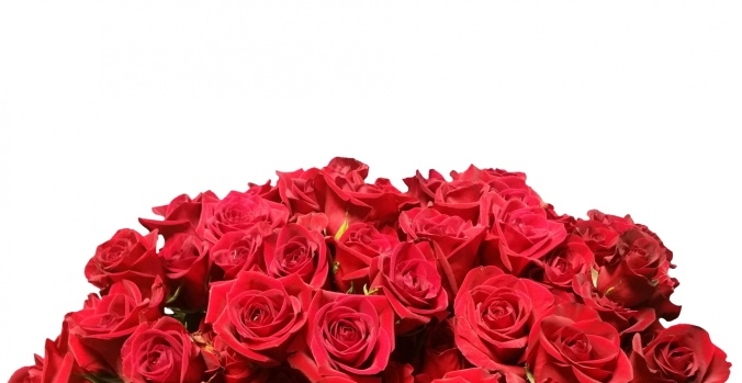 red-roses-white-background