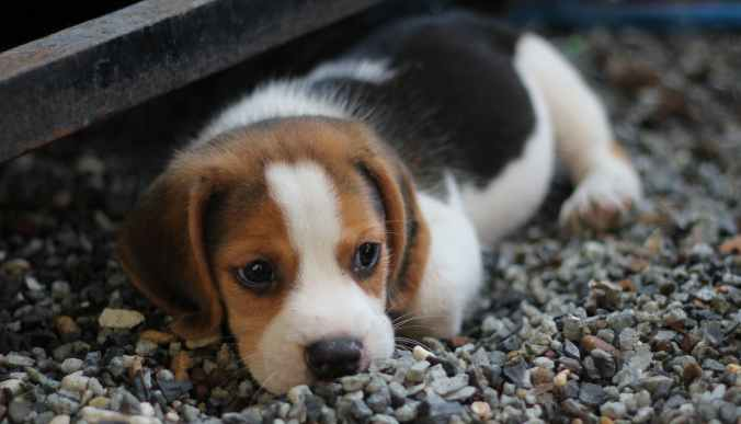 animal beagle canine close up