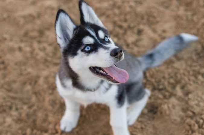 photo of siberian husky puppy
