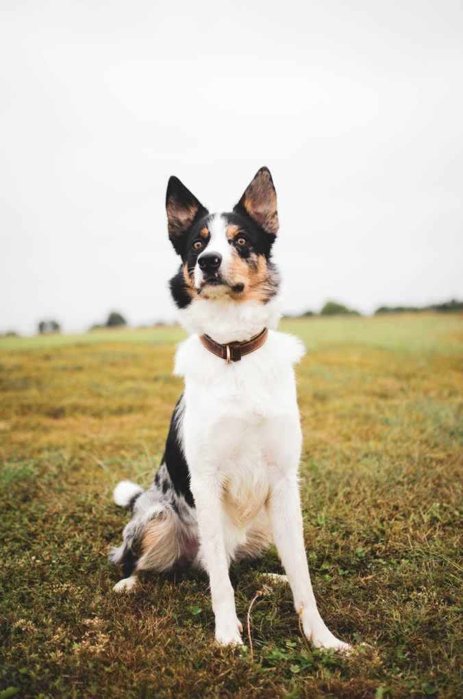 photo of border collie dog sitting alone in grass field