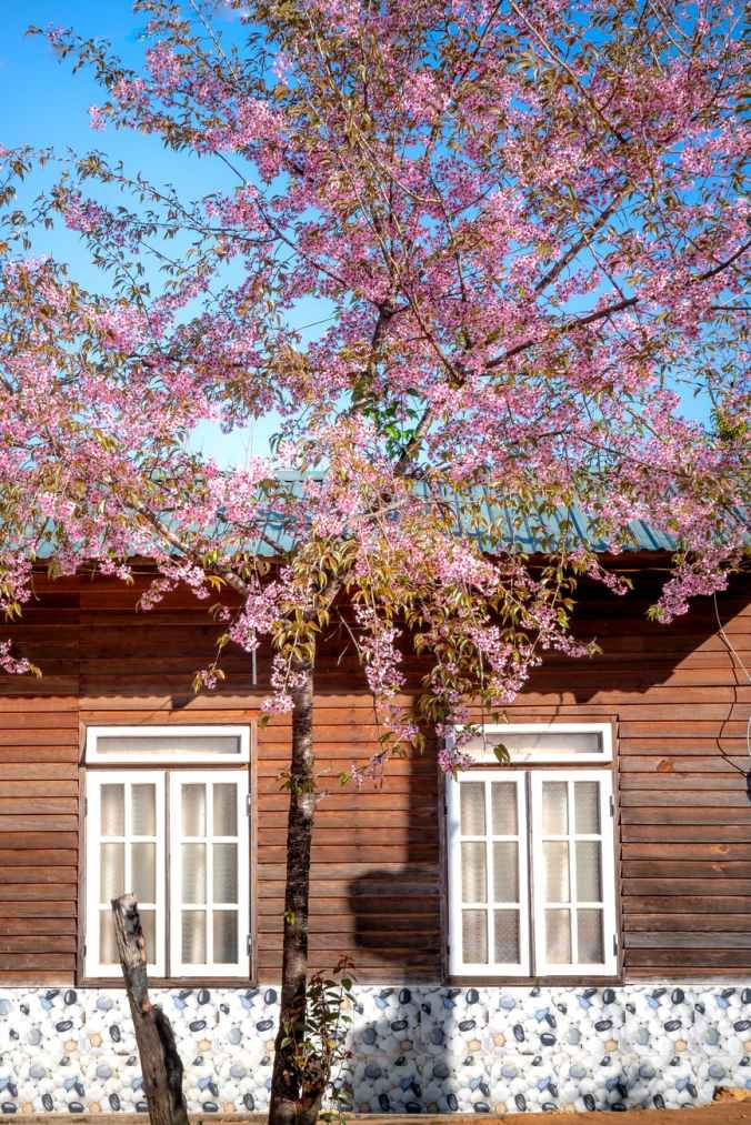 photo of pink leafed tree near wooden house