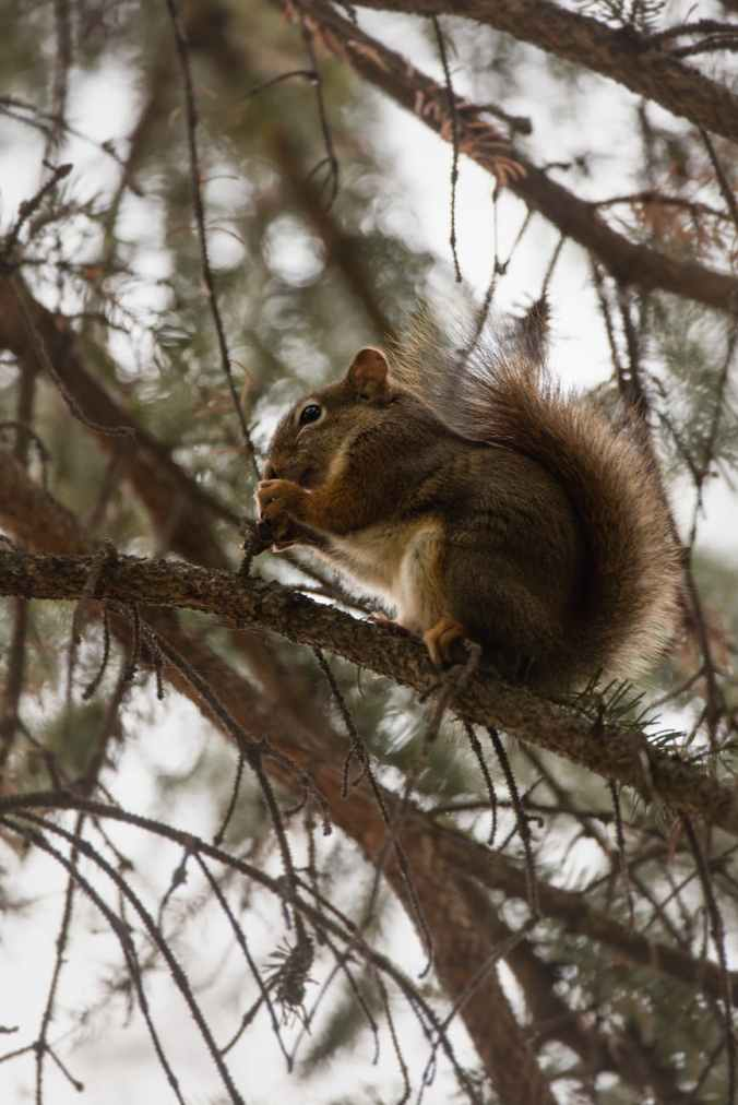 brown squirrel on tree branch